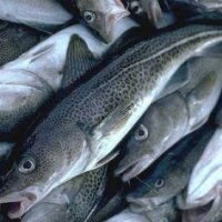 Newfoundland & Labrador Cod Fishery