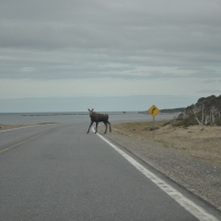 Moose on Great Northern Peninsula Abides Traffic Laws