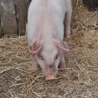 Babe, Orson, Wilbur, Porky? ....All Famous Pigs, but this fellow's name is Willie :)