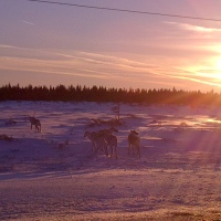 Caribou and the Great Northern Peninsula