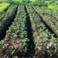 Planting Potatoes & Roadside Gardens