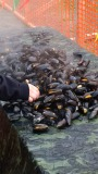 Mussel Festival Growing Exponentially in St. Lunaire-Griquet!