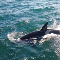 An End of Summer Surprise – Killer Whales Make Northland Discovery Boat Tour Memorable