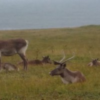 Caribou present at Point Riche, Port au Choix